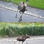 Przez słupeckie ulice przemaszerowały łosie. Fot. Piotr Lisowski