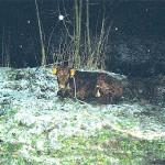 Samowola byka
