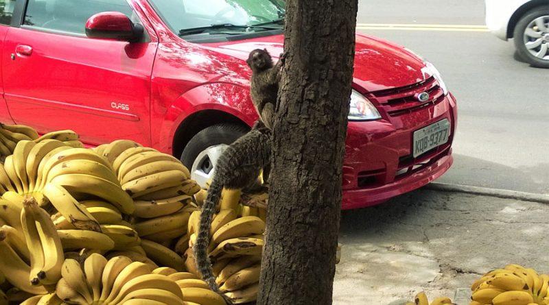 malpki-probuja-ukrasc-banany-z-taszy-ustawionych-przed-warzywniakiem-na-mojej-ulicy