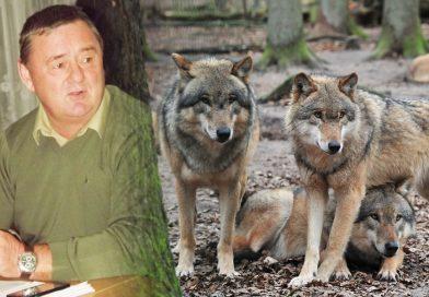 Wilki w okolicznych lasach…