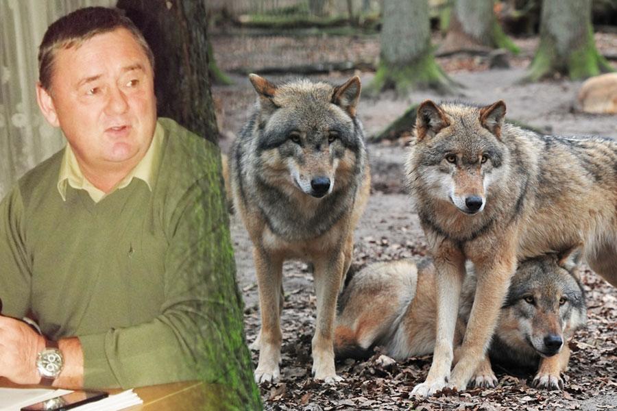 Wilki w okolicznych lasach...
