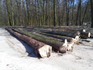 Wycinka drzewa w miejskim lesie